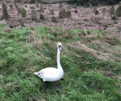 Swan rescued from enclosed graveyard in Britain