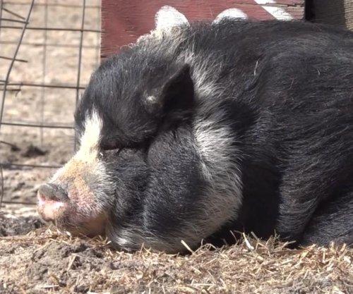 Sanctuary seeks 'piggy cuddlers' to socialize rescued swine