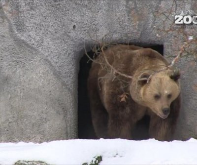 Bears wake from hibernation a month early due to mild winter