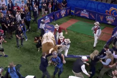 Texas' live bull mascot nearly tramples Georgia bulldog at Sugar Bowl