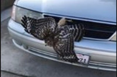 Hawk rescued from front grill of car in California