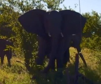 Safari group cornered by aggressive elephants in South Africa
