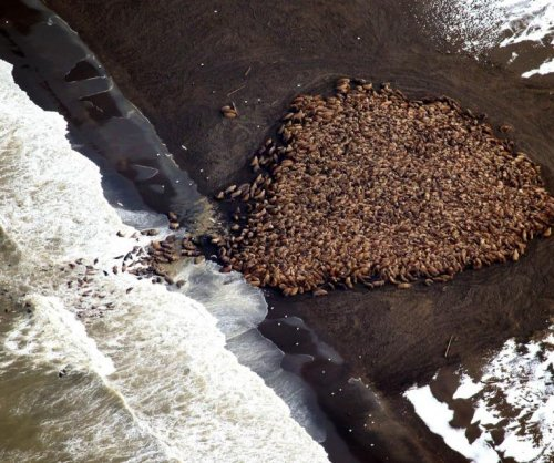 FAA to Arctic pilots: Do not disturb the walruses