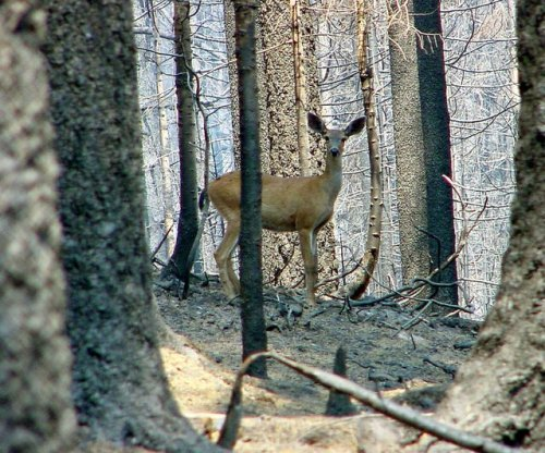 Fatal disease similar to mad cow spreading in America's deer