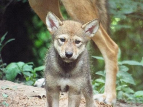 Rare red wolf pup born in captivity
