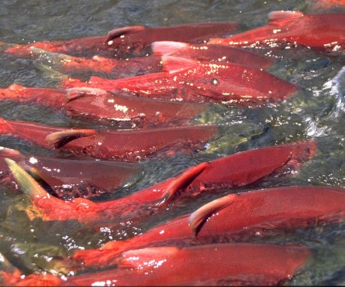 What triggers salmon migrations?
