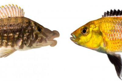 African fish shows how hybridization drives evolution