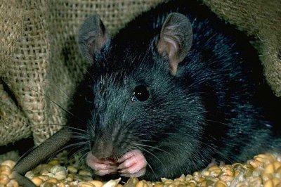 Rats may not have been responsible for the Black Death plague
