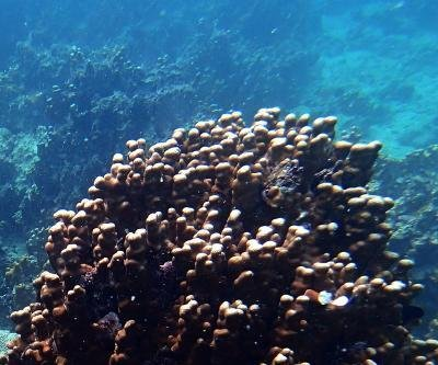 Algal species helps corals survive in Earth's hottest reefs