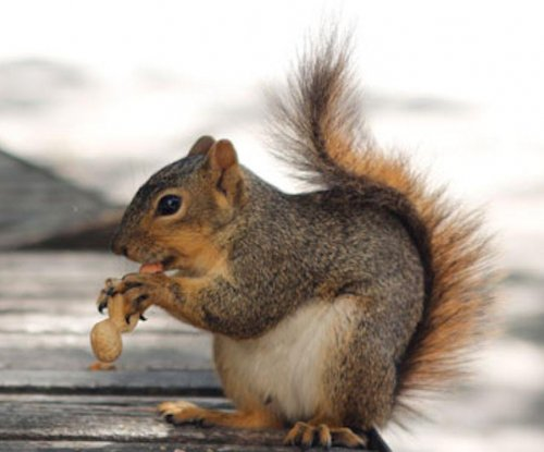 Fox squirrels organize their nuts by quality, quantity and preference
