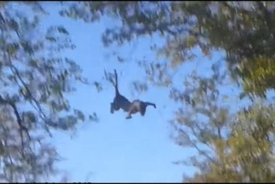 Leopard hunts flying squirrel, fails to learn to fly