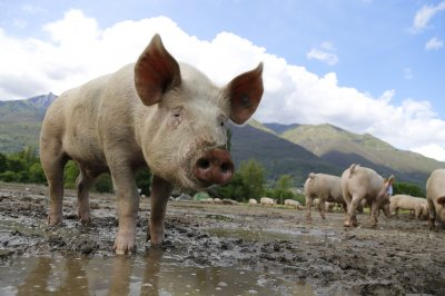 FDA approves genetically modified pigs for food, therapies in U.S.