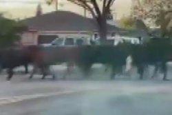 40 cows escape California slaughterhouse, stampede through neighborhood