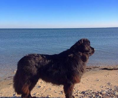 Dog saves stranded sea turtle on New England beach
