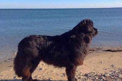 Dog saves stranded sea turtle on New England beach