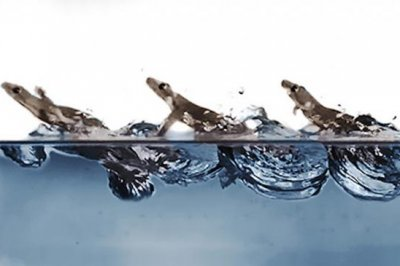 Biophysicists measure how geckos glide across water