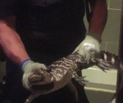 Burglary call leads New York police to illegal bathtub alligator