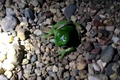 Shocked woman films tree frog eating snake head-first