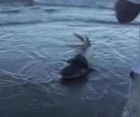 Beach visitors rescue shark from plastic disc
