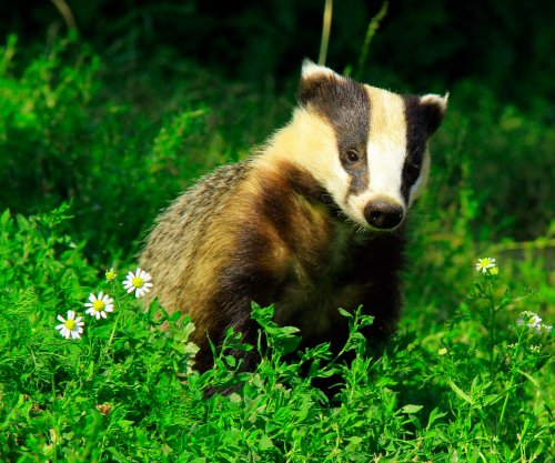 Badgers that brawl tend to age faster, live shorter lives