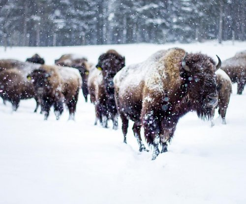 Yellowstone bison hunt generates controversy, court battle