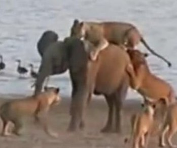 Cool-headed elephant fights off 14 female lions in Zambia