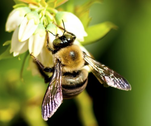 Study: Wild bumblebees vulnerable to variety of viruses