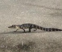 Baby alligator caught jaywalking on Florida road
