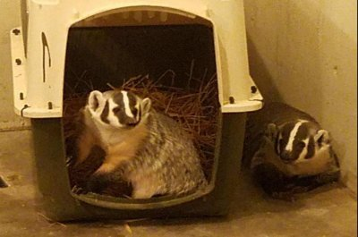 Two badgers escape from Illinois zoo