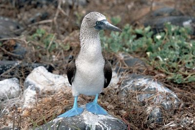 Galapagos' blue-footed booby threatened