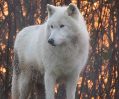 Scientists identify howling dialects of wolves