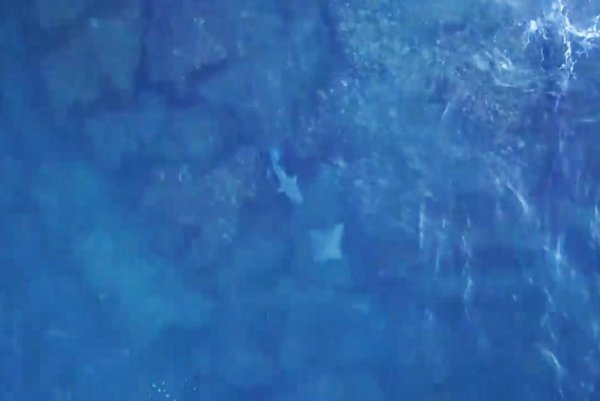 Drone video captures stingray's narrow escape from shark
