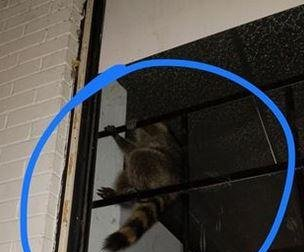 Raccoon breaks into Tennessee cellphone store