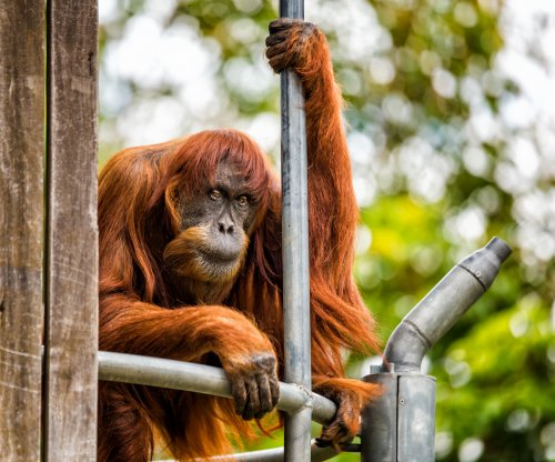 Puan, world's oldest Sumatran orangutan, dies at 62