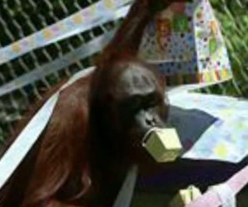 Texas zoo's pregnant orangutan has baby shower registry at Target
