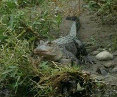 Mayor warns of alligator on the loose in upstate New York