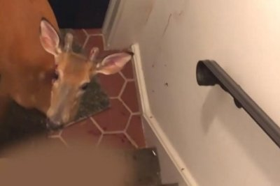 Deer crashes through window into New Jersey home