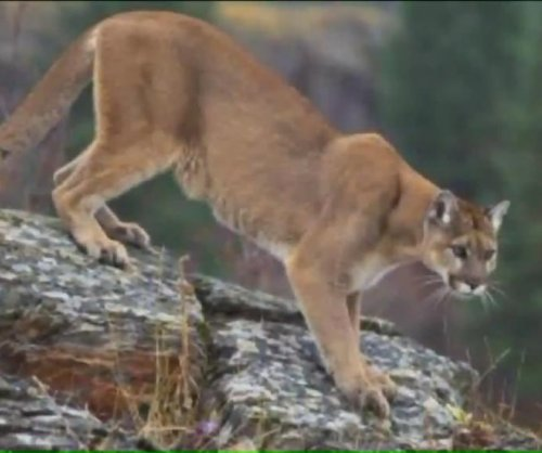 Chicago-area man reports mountain lion sighting