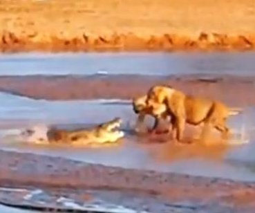 Crocodile takes on three lions at once in Kenya