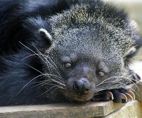 Study explains why bearcats smell like movie theather popcorn