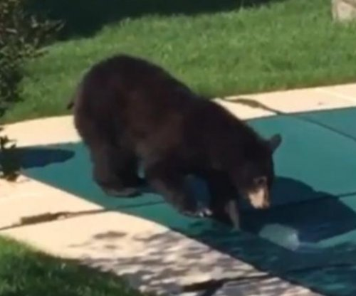 Black bear takes a drink from in-ground Pennsylvania pool