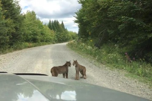 Lynx cats block Maine road to have heated argument