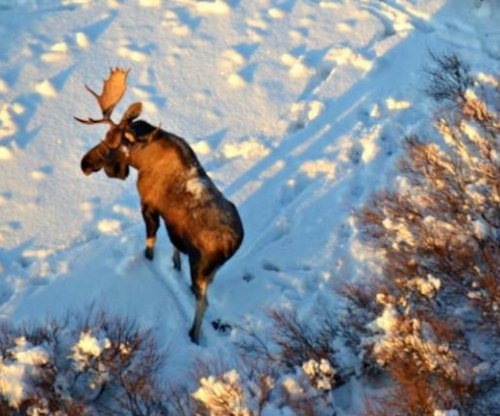 Hungry moose are more tolerant of wolves