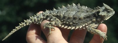 Island lizards found to be tamer than their mainland counterparts