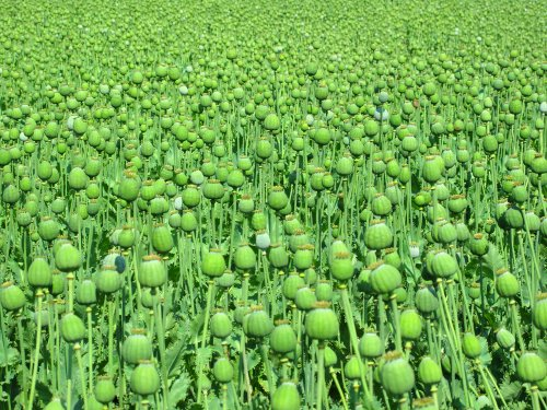 Afghan poppy harvest hits record