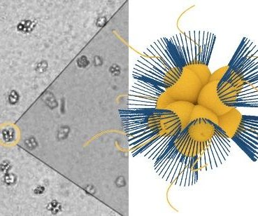 Study: Choanaflagellates navigate to oxygen