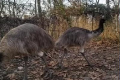 Escaped emu captured 10 miles away from Pennsylvania farm