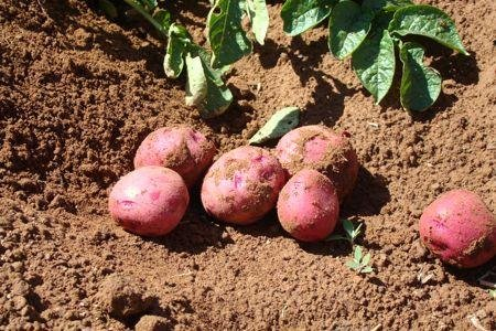 Reward offered in Canadian potato-tampering probe
