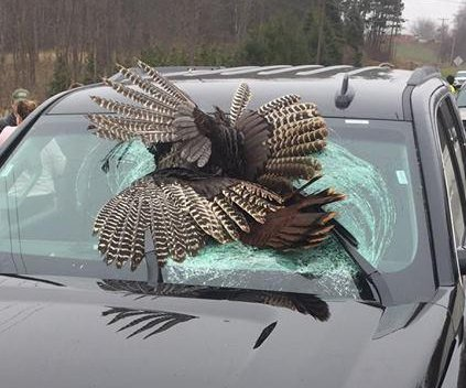 30-pound turkey ends up lodged in rental vehicle's windshield