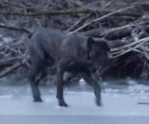 Dog rescued after wandering out onto frozen Michigan river